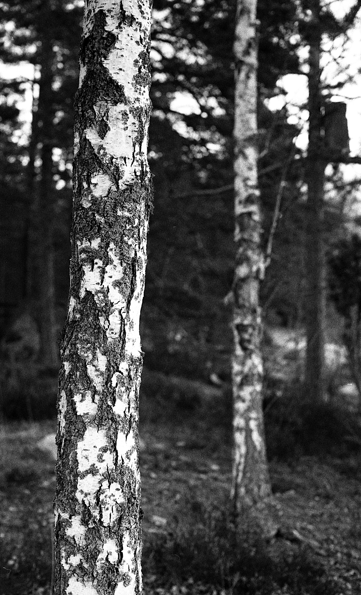 Two birches II